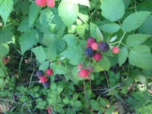 Black Raspberries_Web
